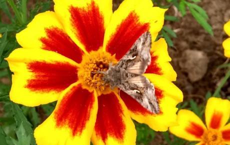 Marigolds from Gill's Garden